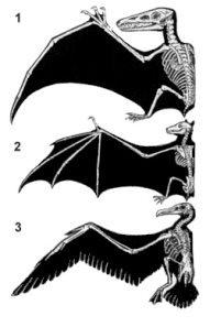 This diagram shows the different daptations to flying in a pterosaur, a bat and a bird