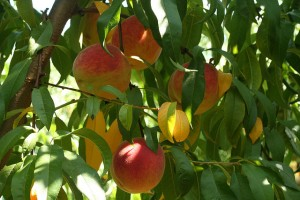 Peach Tree: New to Science in Microbiology
