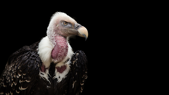 A Ruppell's Griffon Vulture (Gyps rueppellii